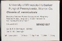 Clavaria vermicularis image