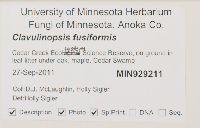 Clavulinopsis fusiformis image