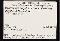 Coprinellus angulatus image