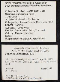 Coprinus variegatus image