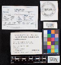 Crepidotus albatus image