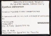 Cyathus stercoreus image