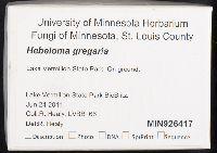 Hebeloma gregarium image