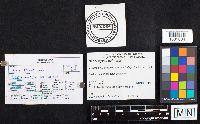 Dacrymyces chrysospermus image