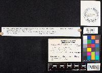 Daedaleopsis confragosa image
