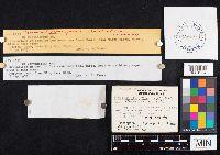 Cortinarius psammophilus image