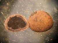 Image of Elaphomyces muricatus