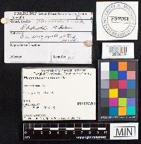 Flammulaster erinaceella image