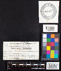 Phylloporia ribis image