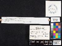 Fomitopsis cajanderi image