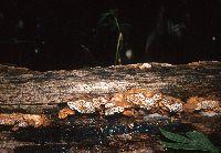 Gloeophyllum trabeum image