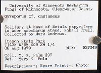Gyroporus castaneus image