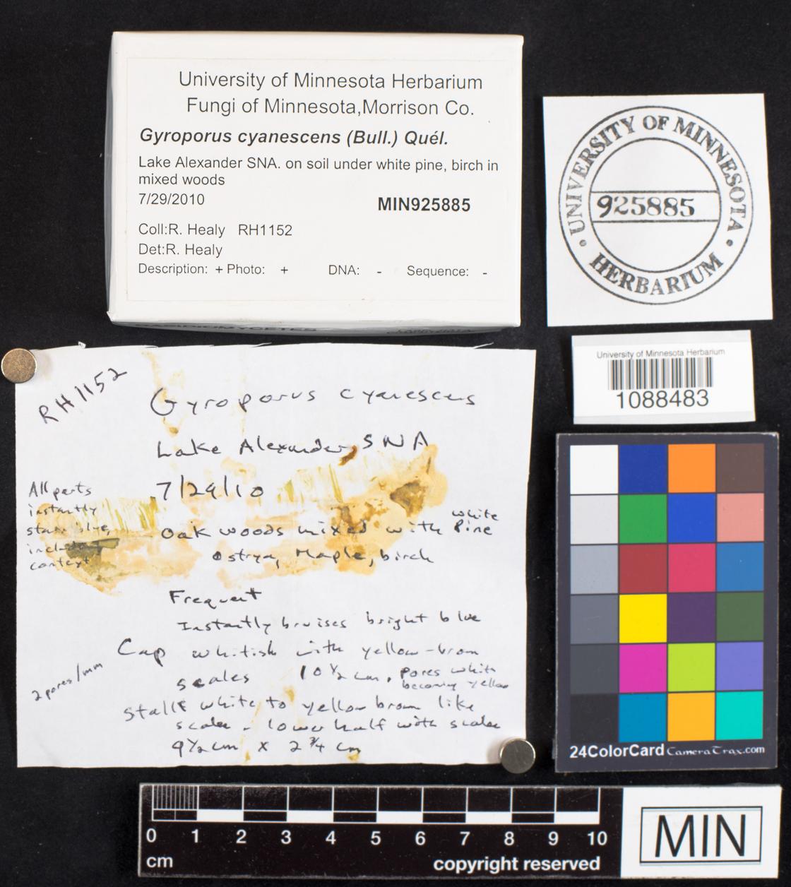 Gyroporus cyanescens image