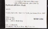 Hydnum albidum image
