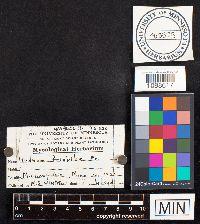 Image of Hydnum friabile