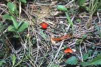 Hygrocybe conica image