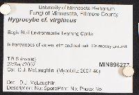 Hygrocybe virginea image