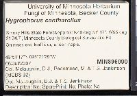 Hygrocybe cantharellus image