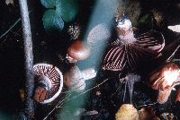 Hygrophorus kauffmanii image