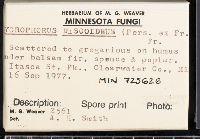 Hygrophorus discoxanthus image