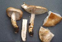 Image of Hygrophorus paludosoides