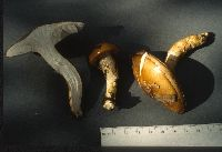 Hygrophorus paludosoides image