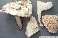 Hygrophorus sordidus image