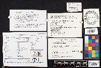Image of Hymenogaster tener