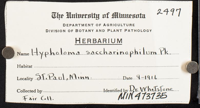 Hypholoma saccharinophilum image