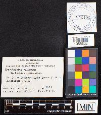 Granulobasidium vellereum image