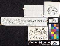 Hysterangium stoloniferum image