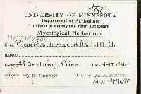 Hypsizygus ulmarius image