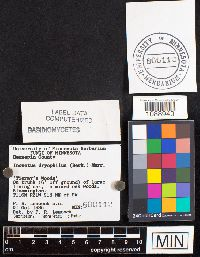 Inonotus dryophilus image