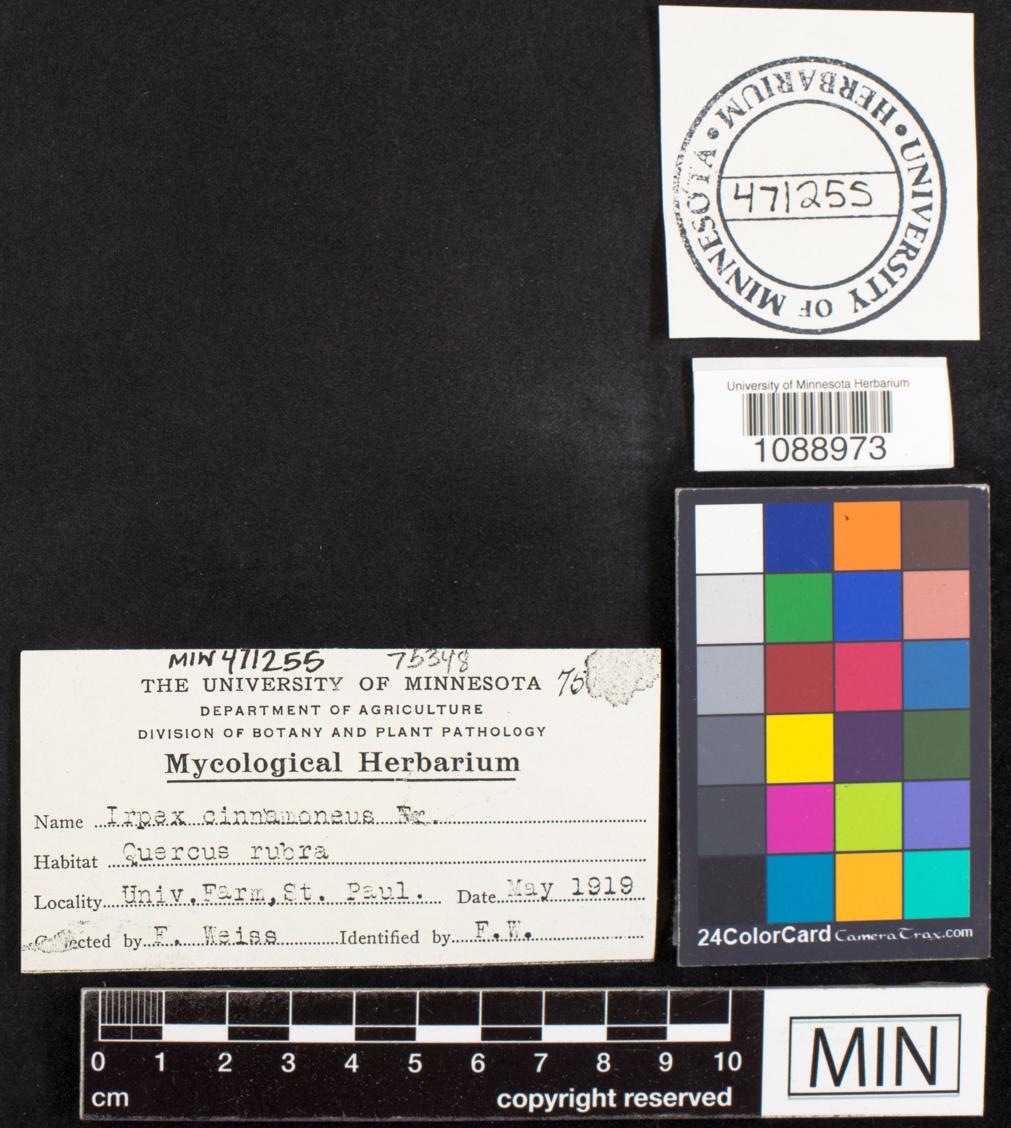 Irpex cinnamomeus image