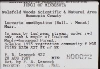 Laccaria amethystea image