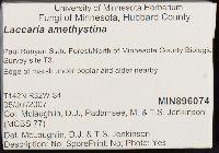 Laccaria amethystina image