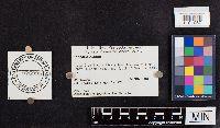 Laccaria bicolor image