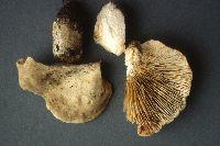 Lactarius fumosus image