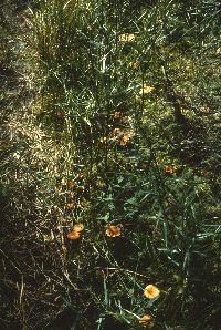 Laccaria longipes image
