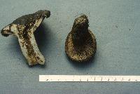 Image of Lactarius atroviridis