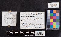 Lactarius chelidonium image