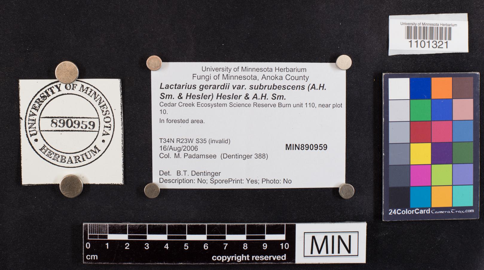 Lactarius gerardii var. subrubescens image