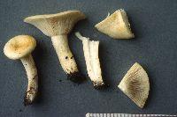 Image of Lactarius maculatipes