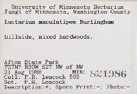 Lactarius maculatipes image