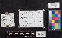 Lactarius maculatus image