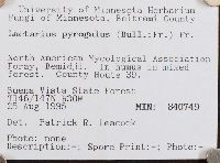 Lactarius pyrogalus image