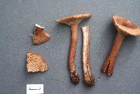 Image of Lactarius subserifluus