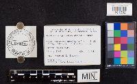 Lactarius splendens image