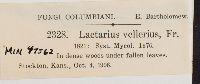 Lactarius vellereus image