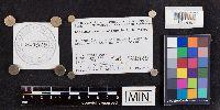 Leccinum pseudoinsigne image